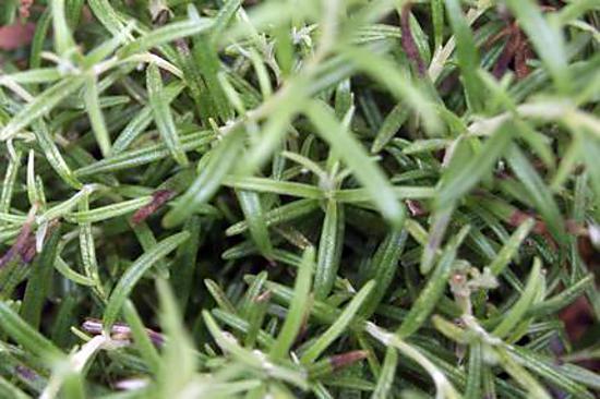 Recette de le romarin plante aromatique for Plante aromatique cuisine