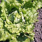 recette Les bienfaits de la salade