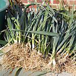 recette Les bienfaits des poireaux et comment en planter....
