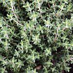 recette le thym (plante aromatique)