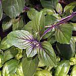 recette Le basilic (plante aromatique)