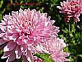 chrysanthemum s