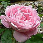 recette Pétales de roses cristallisés