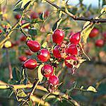 recette Confiture de cynorrhodons (Coop)