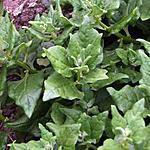 recette Ancien légume : Les tétragones cornus (épinards)